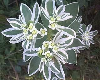20 SNOW ON THE MOUNTAIN Euphorbia Marginata Flower Seeds by Seedville