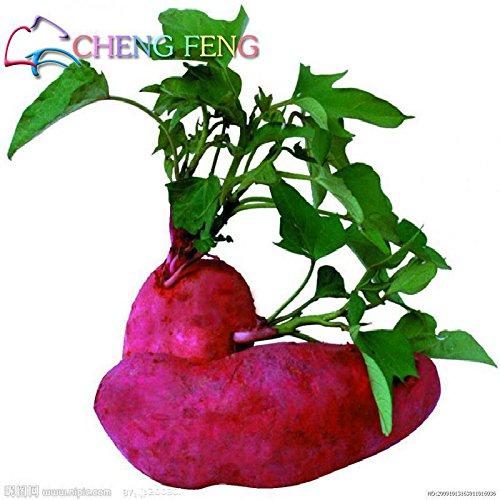 Violet: 50Pcs / Sac à rendement élevé de légumes Graines Ipomoea Batatas Graine géant de patates douces plantes comestibles légumes feuilles vert