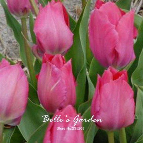 5pcs Rare Rose Fleur Tulipe Ampoules Bonsai fleur de tulipe Tulipa jardin Plantes bulbes vivaces en pot de fleurs # T21