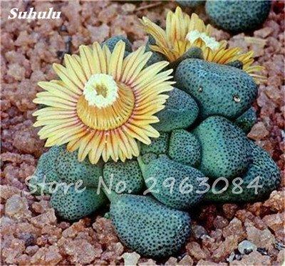 100 Pcs Lithops Graines Salon Ornements Graines de fleurs rares plantes succulentes bricolage Balcon et cour Plantation Facile à cultiver 20