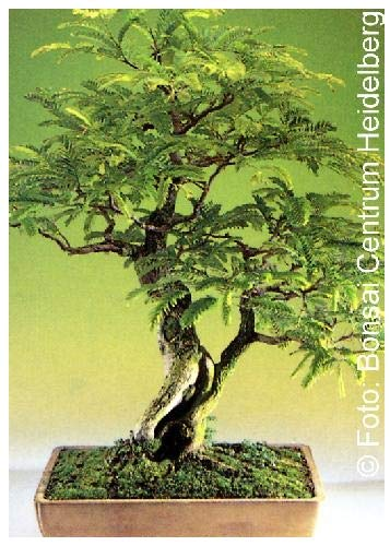 Tamarind Indica Tamarindo Arbre de fruits tropicaux Bonsai 15 graines