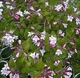 Kolkwitzia amabilis - Perlmuttstrauch - duftend
