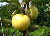 Apfelbaum groß alte Sorte Obst Baum Weißer Klarapfel Baum Busch