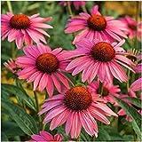 GEOPONICS El paquete de 25 semillas, semillas de Rubí alquitrán Equinácea (Echinacea purpurea)