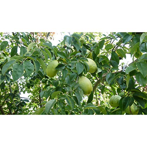 Paw Paw Tree, 1 Potted Plant, 1 Gallon, Healthy Plants, Strong Roots, Fruit Bearing Tree, Poor Man
