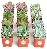 Shop Succulents   Radiant Rosette Collection of Live Succulent Plants, Hand Selected Variety Pack of Mini Succulents   Collection of 12