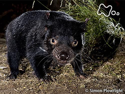 """「オーストラリア タスマニア島 森の可愛い""""悪魔""""子育てに迫る」"""