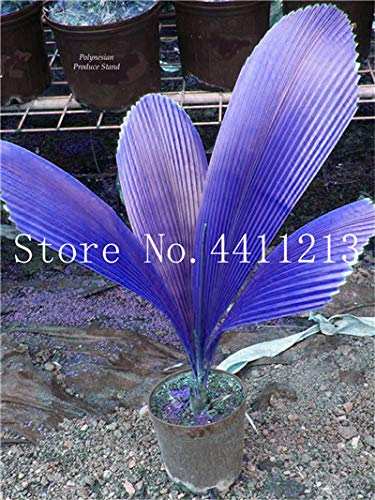 Bloom Green Co. 10 Pcs/bag Bottle palm tree Bonsai Exotic Bonsai tree Tropical Ornamental plant bonsai for home garden Four seasons Decoration: 9