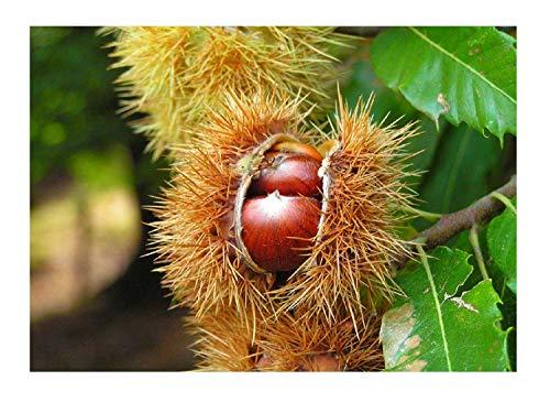 Edelkastanie Castanea sativa Pflanze 45-50cm Esskastanie Maronen Maroni Kastanie