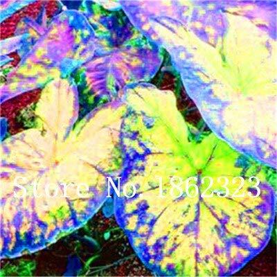 GEOPONICS SEEDS: Verkauf! 100 Stück Caladium Bonsai Caladium Blumen Bonsai Zimmerpflanzen Bonsai Colocasia Anlage für Hausgarten-Topfpflanze: 6