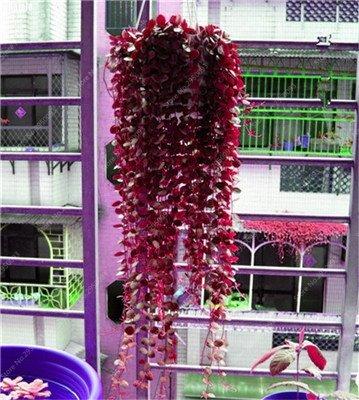 100 pcs/sac exotiques Graines rares Couleur extérieure hybride Escalade Blooming Bonsai Plante en pot Lvy pour décor de jardin