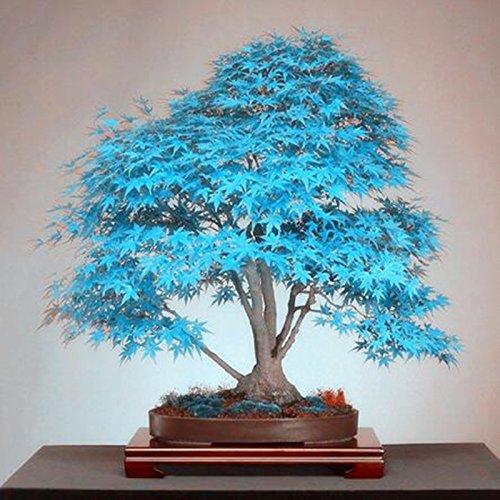 Cuir Dor - 25pcs de arce japonés azul árbol, (Acer palatum), semillas de flores, semillas de árboles bonsai, plantas en maceta para el hogar y el jardín