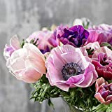20 Anemone Bulbs (Spring-Planted) - Rainbow Pastel Mix