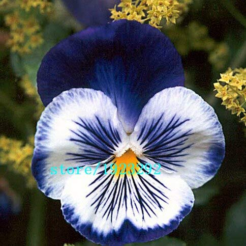 Bloom Green Co. 100 charming White Viola Tricolor Pansy Flower Seeds easy-to plant perennial bonsai potted DIY home& garden original packing A087: Black