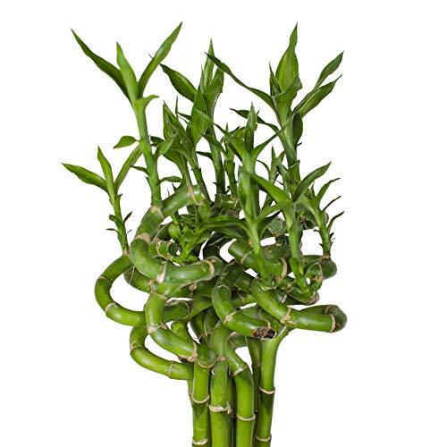 Lucky Bamboo Glücksbambus - GEDREHTin verschiedenen Groessen - Zimmerbambus Gluecksbambus Zimmer Deko Bam Boo dracaena sanderiana Zimmerpflanze (5, 60 cm)