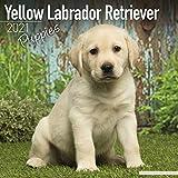 Yellow Labrador Retriever Puppies - Weiße Labradorwelpen 2021: Original Avonside-Kalender [Mehrsprachig] [Kalender] (Wall-Kalender)