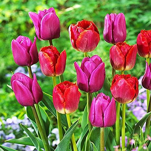 Flores floreciendo,Plantar ahora,Planta decorativa mágica,Bulbo de tulipan,Hermosas flores ornamentales,Planta rara-20 Bulbos