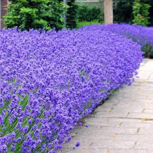 Beautytalk-Garten 100 Stück Lavendel Munstead,Multi Farbe Duftenden Lavander Samen Lavendula stoechas Blumensamen Saatgut mehrjährig für Balkon, Garten