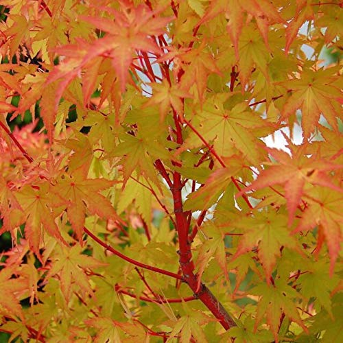 Pixies Gardens (1 Gallon Coral Bark Sango Kaku Japanese Maple - Most Outstanding Lovely Red Bark On The Younger Branches in The Winter and Colorful Foliage Throughout from Yellow to Green to Gold