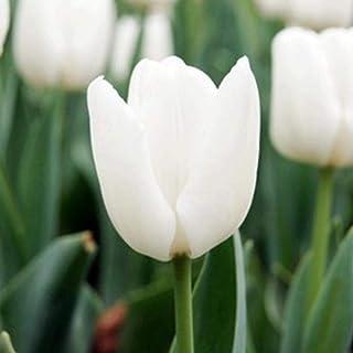 Kisshes Seeds- 50 PC Balcón Jardín Bonito Plantas de Bonsai Semillas de Bulbos de Tulipán (Rosa blanco)