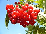 Großfrüchtige Moosbeere Samen (10)- Kulturpreiselberre (Vaccinium macrocarpon) Cranberry