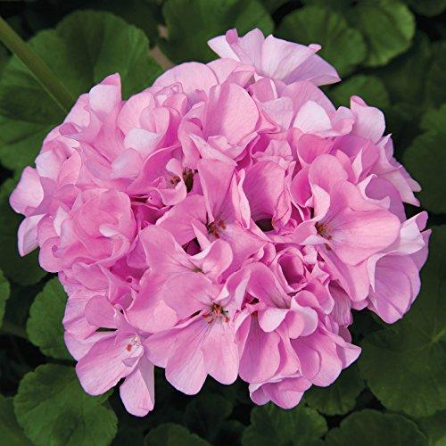 Maverick F1 Series Geranium Flower Garden Seeds - Quicksilver - 100 Seeds - Annual Flower Gardening...