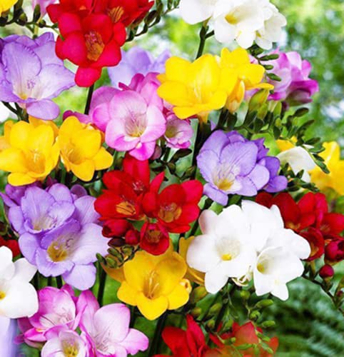 Duftende und farbenfrohe Freesienbirnen Freesien Gefüllt Blumenzwiebeln (10, bunt)