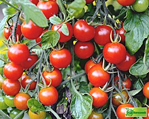 "100 Samen Cherry-Tomate""Gardener's Delight"", Benarys Gartenfreude, Sugar Lump"