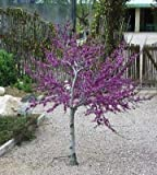 10+ Seeds Of Occidentale Albero di Giuda - Cercis Occidentalis