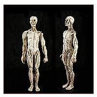 男性教育モデル1:1の解剖学頭蓋骨彫刻自然サイズ - スケルトンモデル - 解剖学的筋肉モデル絵画彫刻と人間の骨格