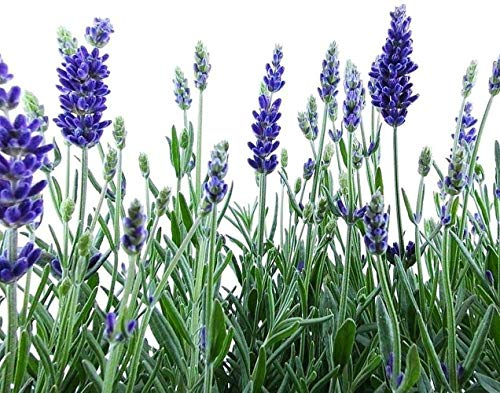 200pcs Lila Lavendel Samen Aromatischen...