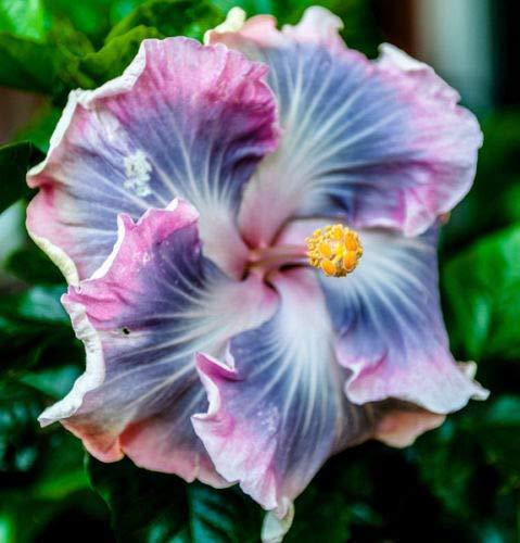 10 Rare Bleu Violet Hibiscus Graines Hardy géant Fleur tropicale exotique Rose Blanc
