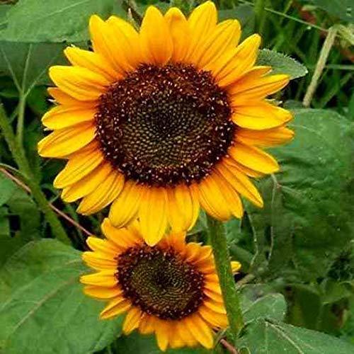 Portal Cool Samen Sonnenblume, Mammoth Gray, Erbstück Sonnenblumensamen, gelbe Sonnenblumen, 50ct