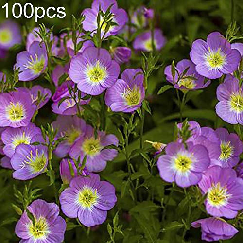 WskLinft 100Pcs Finest Evening Primrose Seeds Plant Balcony Garden Bonsai Flower Office Decor - Making it an Ideal Gift for Gardeners Pink Evening Primrose Seeds