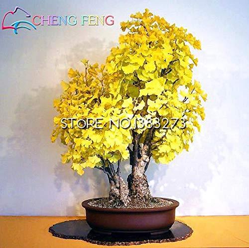 Green Seeds Co. 5pcs Rare Rainbow Ginkgo plantes Belles Feuilles D'Automne Arbre En Pot Bonsaï Plante Vivace Fleurs plante: Vert Clair