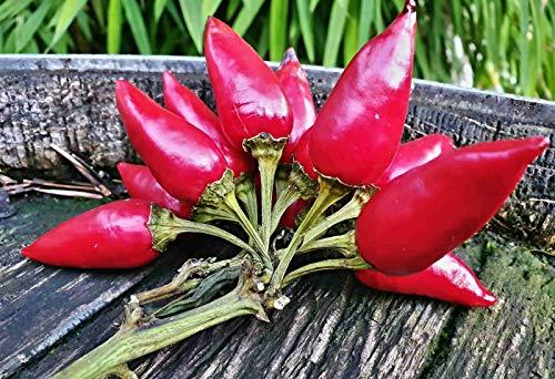 100 Piri Piri Chili Samen, African bird's eye chili, 175000 Scoville, Capsicum Frutescens