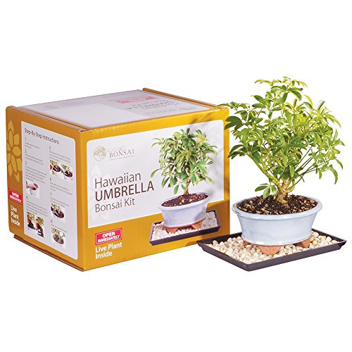 Brussel's Live Hawaiian Umbrella Indoor Bonsai Tree Kit - 3 Years Old; 8' to 10' Tall with Decorative Container