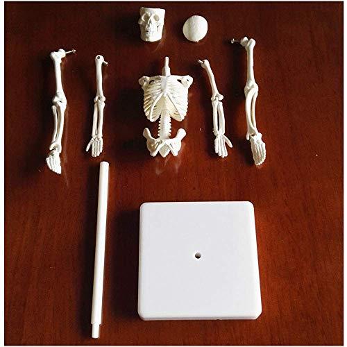 SLRMKK 20Cm menschliches Skelett-Montagemodell - menschliches Skelettmodell - Lehren des menschlichen Körper-Skelett-Schädel-Modells - für naturwissenschaftliche Lernspielzeug-pädagogische Zughilfe