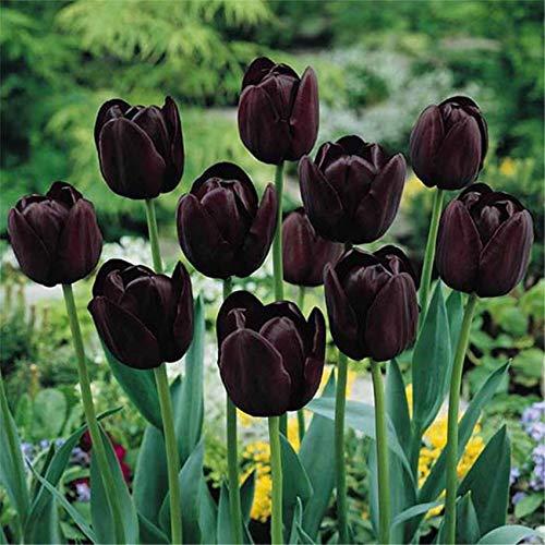 Tulipani Bulbi Piante Ornamentali Elegante Fiori Da Giardino Perenni Un Supplemento Necessario In Giardino Facile Da Coltivare-5 Bulbi,Nero