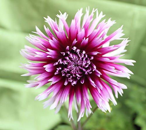 Hirschgeweih Dahlie großblumig Alauna Clair Obscur Knolle Blumenzwiebel (1)