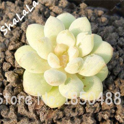 100 Jardin Serre Cactus graines rares Plantes vivaces Succulent herbes, graines Bonsai Pot de fleurs, de plantes d'intérieur Absorber Formaldéhyde 10