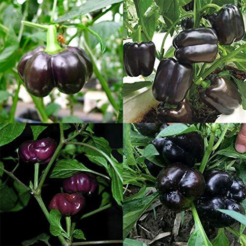 Ultrey Samenshop - 20 Stück Chocolate Paprikasamen süßer lila Paprika Saatgut Gemüse Frucht Samen mehrjährig winterhart ertragreich für Garten Balkon/Terrasse