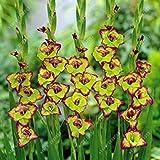 Vistaric Véritables bulbes de glaïeul, bulbes de fleurs lys rare, épée, lis, jardin de décoration bonsaï de plante en pot aérobie (sans graine de glaïeul) - 2 bulbes 3