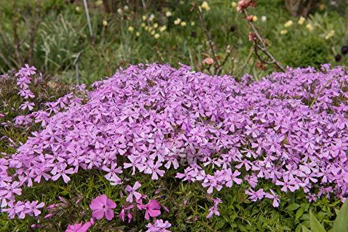 Herbst-Leimkraut 50 Samen Silene schafta 'Persian Carpet' - Bodendecker,lang blühende mehrjährige
