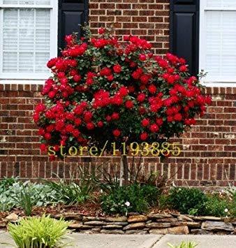 Fash Lady 100 pcs graines de rosier rare bonsaï fleur rose graines mini arbre pour planteurs de pot de fleur