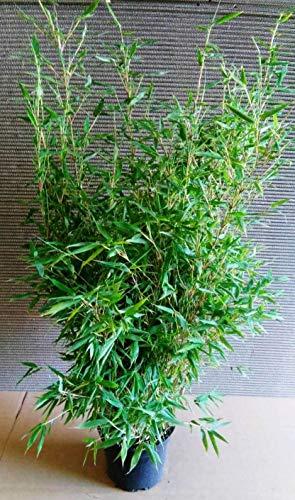 2 Bambus,Höhe: 120-130 cm, Fargesia murielae Jumbo, winterharte Bambuspflanzen