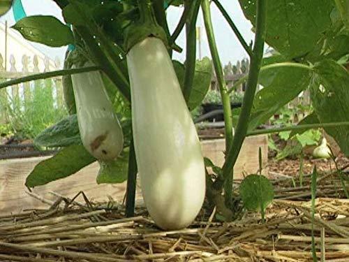 Portal Cool Liveseeds - Aubergine blanc longues Solanum 10 graines Asiatique fraîches