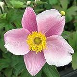 Blumixx Stauden Anemone hupehensis 'September Charme' - Herbstanemone, im 0,5 Liter Topf, hell violettrosa blühend