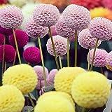 Outsidepride Dahlia Pompon Flower Seed - 500 Seeds