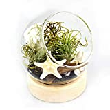 NW Wholesaler DIY Live Air Plant Terrarium Kit - Complete with Wood Base Glass Dome...